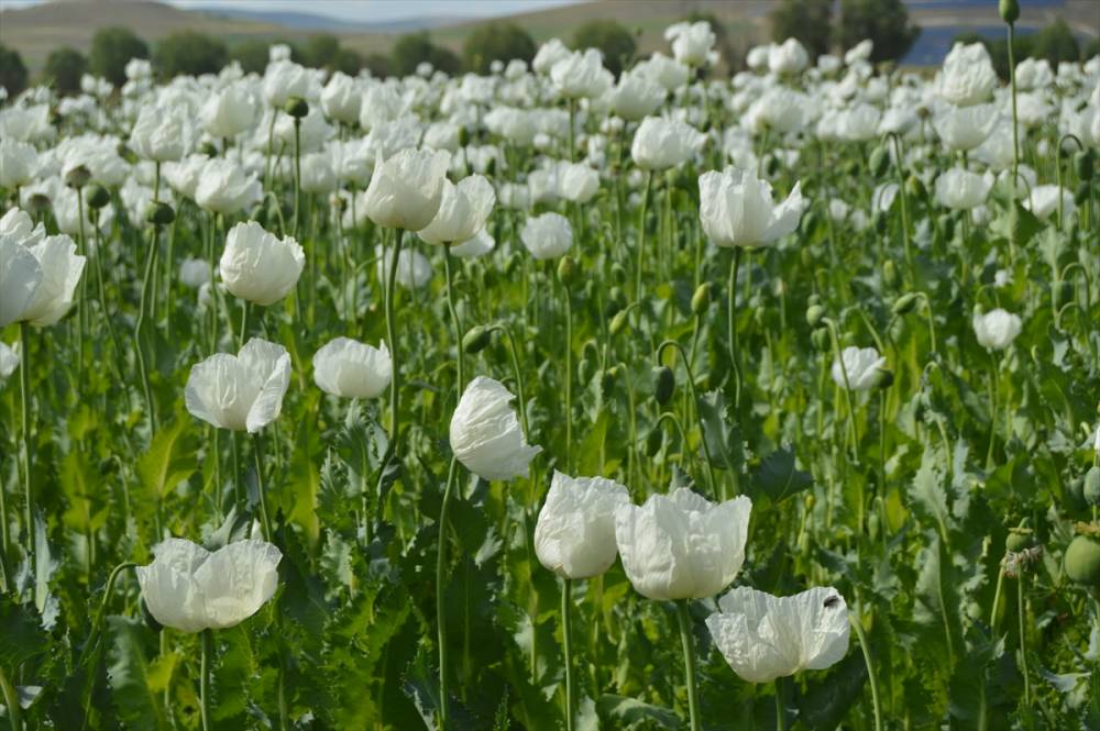 Afyonkarahisar'da çiçeklenen haşhaş tarlaları görsel şölen oluşturd 1