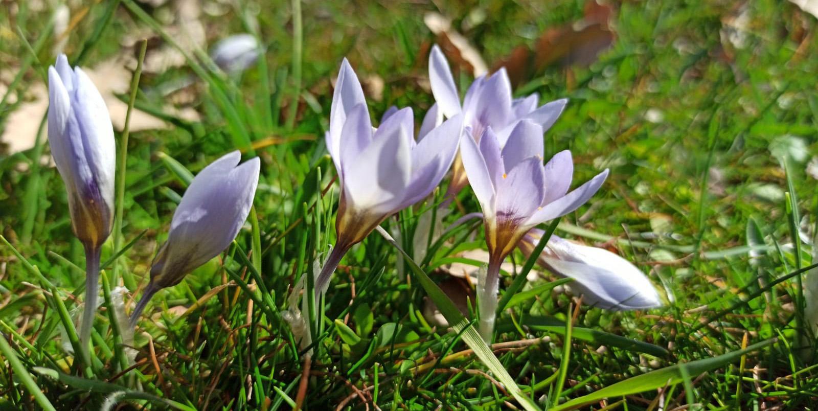 Çukurca'da kardelenler çiçek açtı
