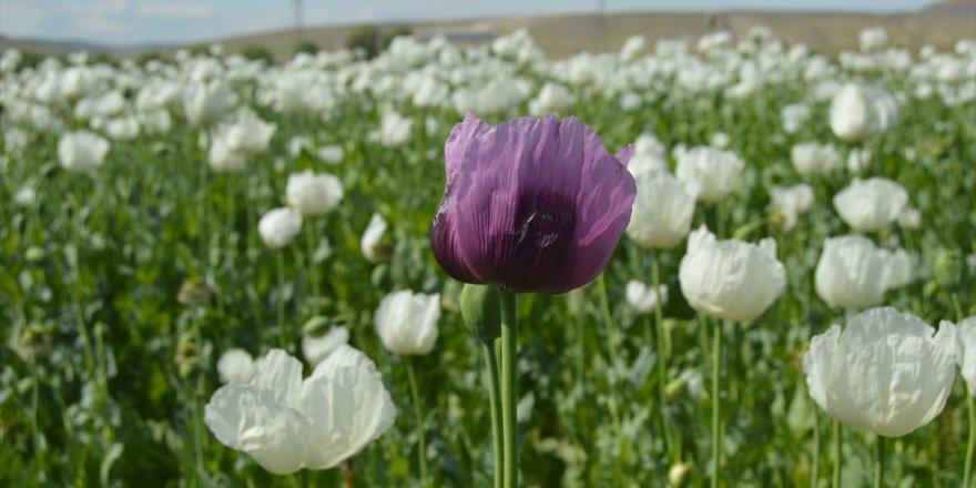 Afyonkarahisar'da çiçeklenen haşhaş tarlaları görsel şölen oluşturdu