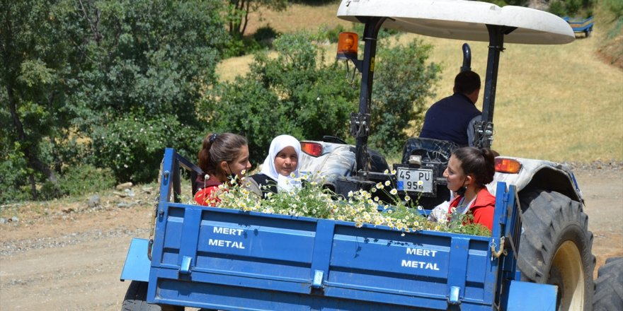 Manisa'da kadınların papatya mesaisi sürüyor