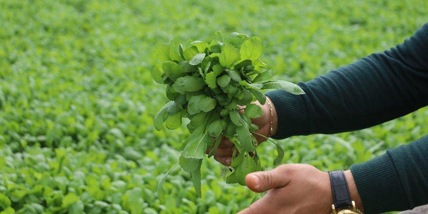 Fazla üretim ve pandemi yeşillik fiyatlarını düşürdü