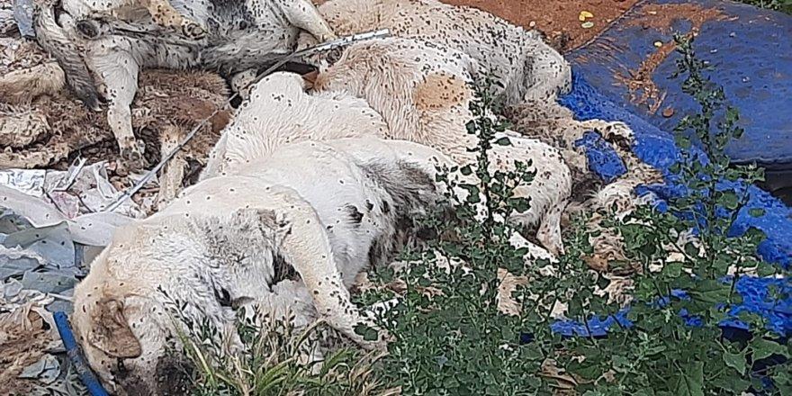 6 köpek ve 6 kedi zehirli tavuk yedirilerek öldürüldü