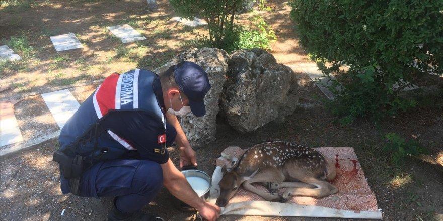 Afyonkarahisar'da jandarma ekiplerince yaralı halde bulunan geyik yavrusu koruma altına alındı