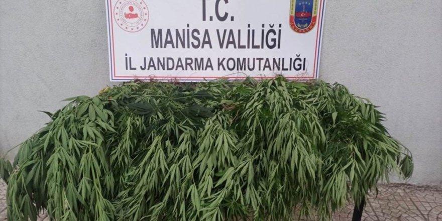 Manisa'da 43 kök Hint keneviri ele geçirildi