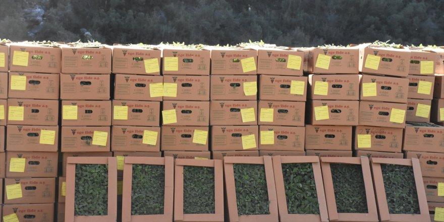 Muğla'da 500 bin tıbbi ve aromatik bitki fidesi dağıtıldı