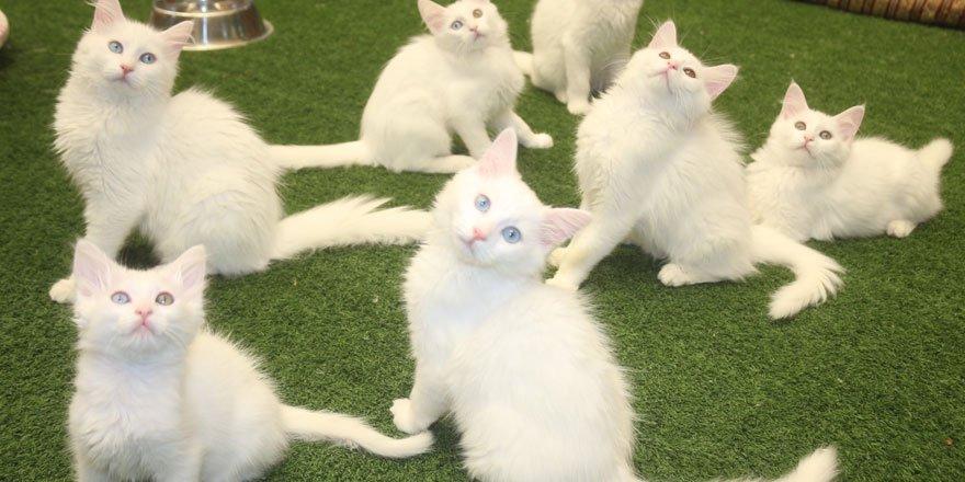 Bakanlık kararı Van kedisi hayranlarını sevindirdi