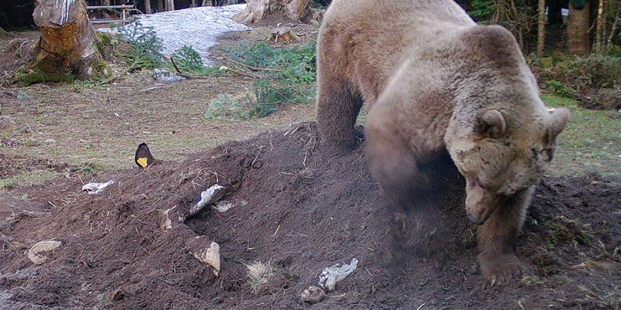 Uludağ'da çiftçinin ölen ineği ayılara verildi