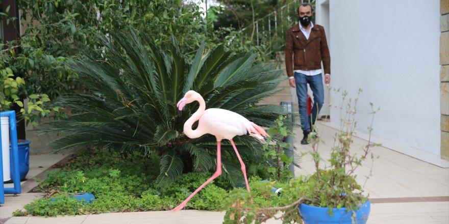Bodrum'da otelin bahçesine düşen yaralı flamingoya işletmenin yetkilileri sahip çıktı