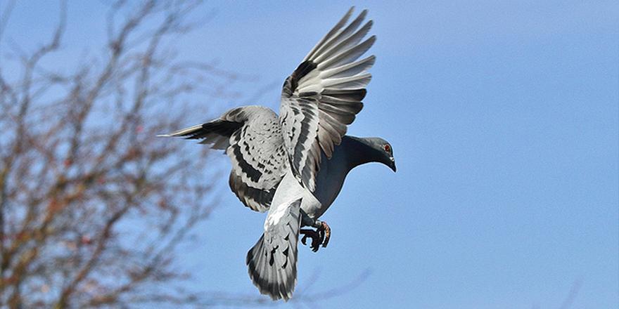 Samsun'da hırsız 40 bin lira değerindeki 4 güvercini çaldı