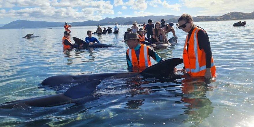 Yeni Zelanda'da 49 pilot balina karaya vurdu, 9'u öldü