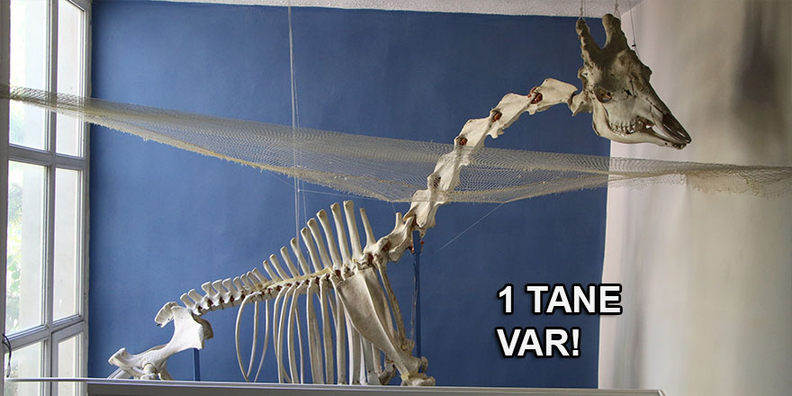Türkiye'de ilk olan zürafa iskeleti yer alıyor