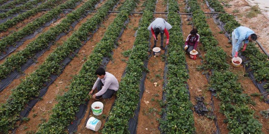 Konya'nın coğrafi işaretli organik çileği artık yılın 12 ayı üretiliyor
