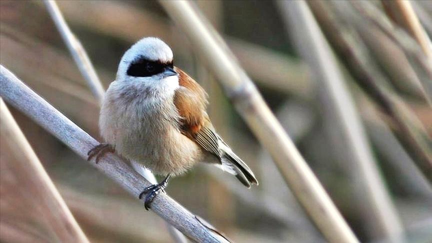 Yalova'daki Hersek Lagünü'nde kuş türü sayısı 233'e yükseldi