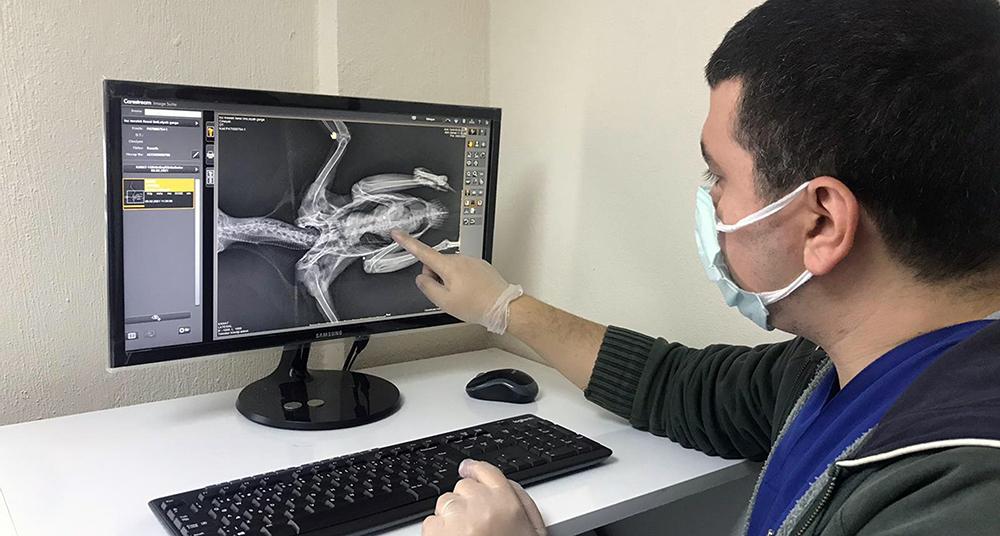 Yaralı kargaya cerrahi operasyon