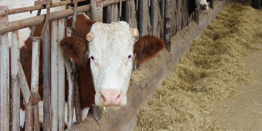 Sütün kaymağını zincir marketler ve aracılar yiyor