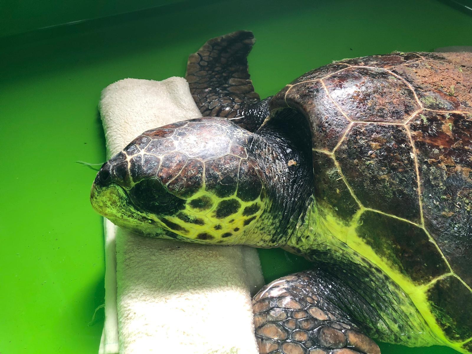 Öldüğü sanılan deniz kaplumbağasının, yaşadığı ortaya çıktı