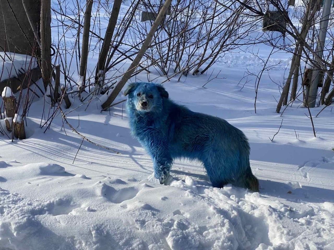 Rusya'da köpeklerin rengi maviye döndü