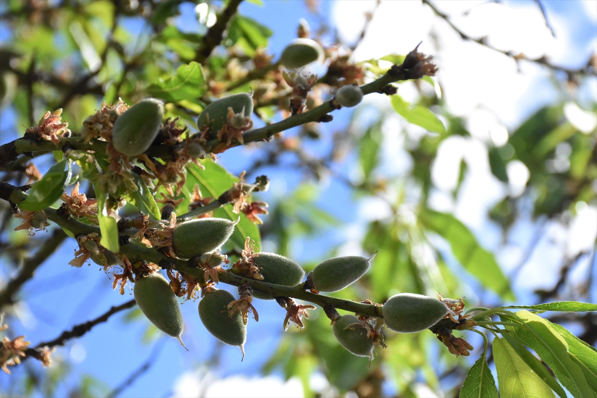 Datça'da mevsimin ilk badem çağlası hasadı başladı